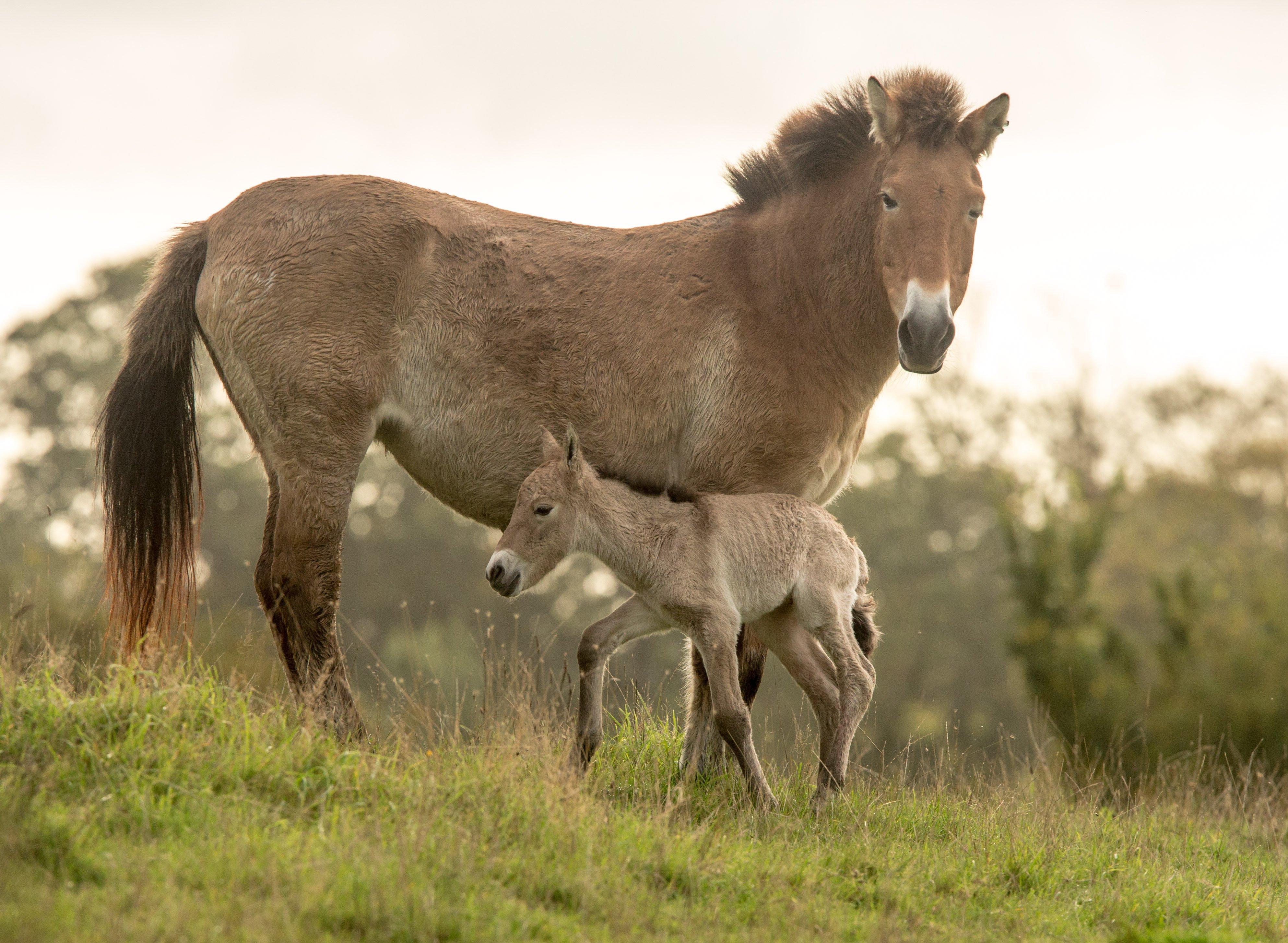 ANIMAL-GALLERY_Przewalski-Horse_1