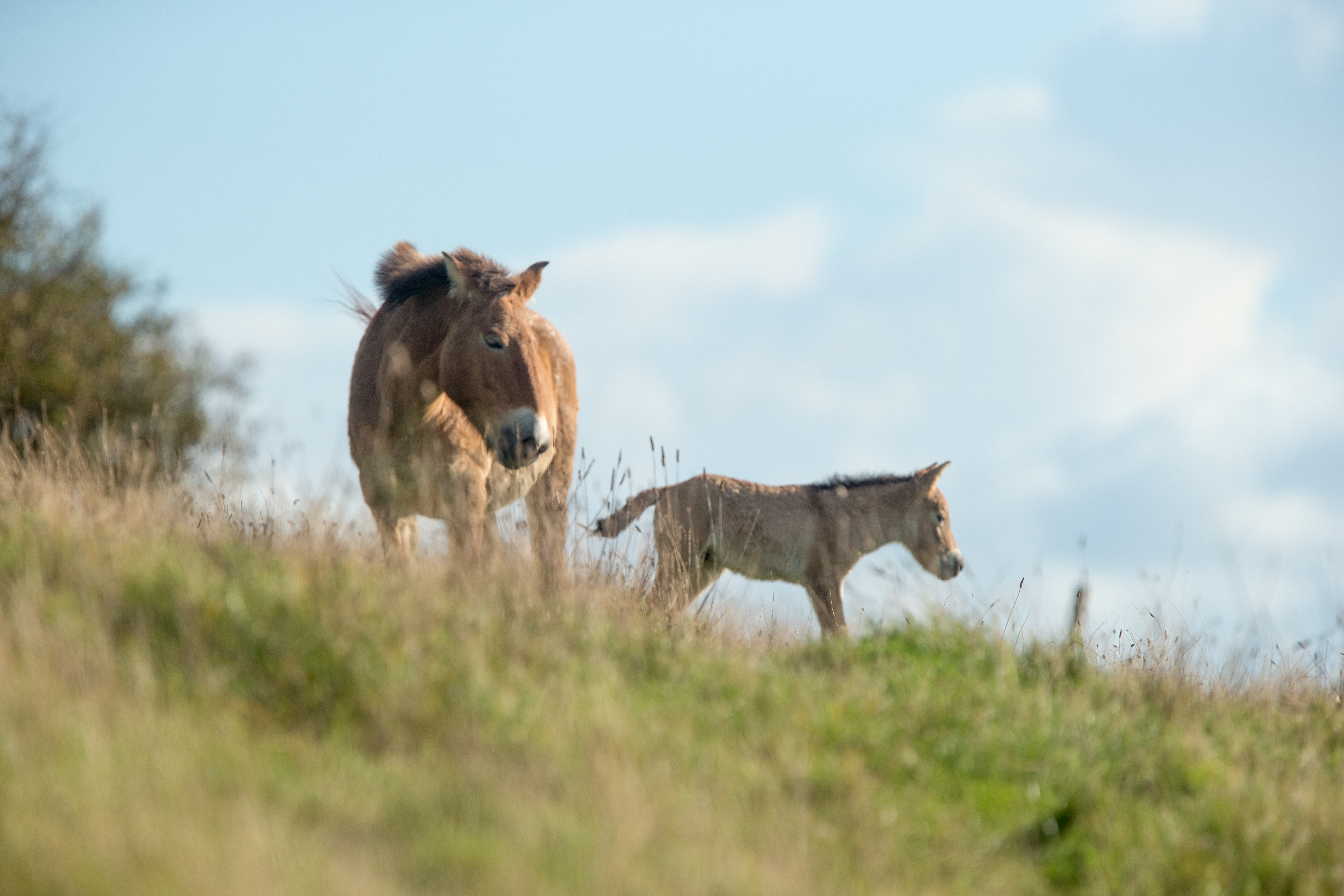 ANIMAL-GALLERY_Przewalski-Horse_2