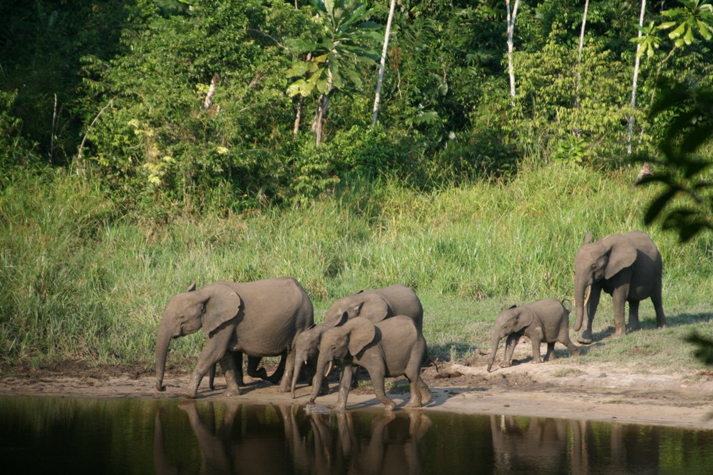 Forest elephants 4 c The Aspinall Foundation
