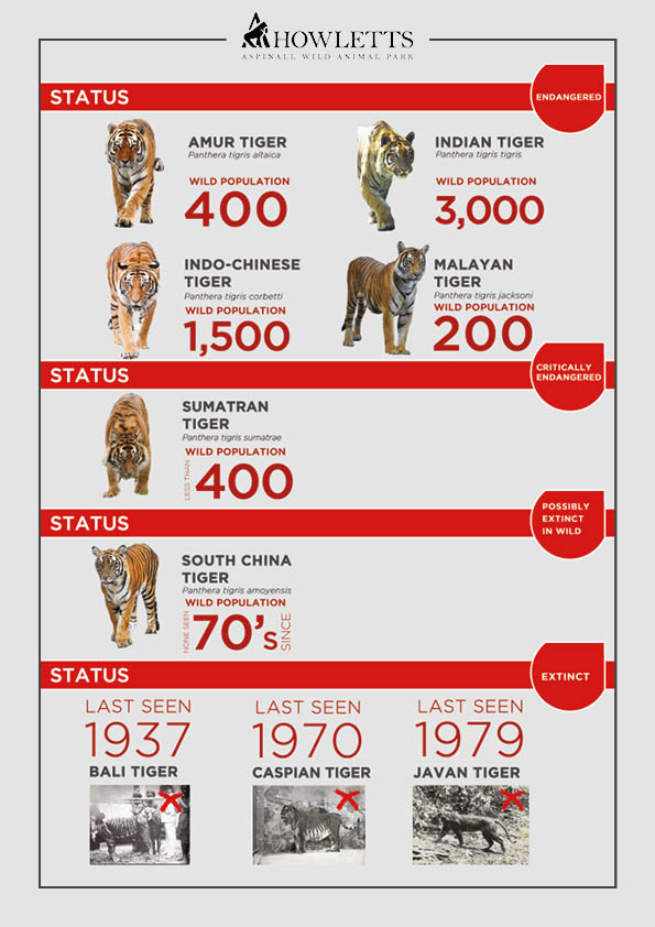 Tiger-Conservation-Status_Howletts
