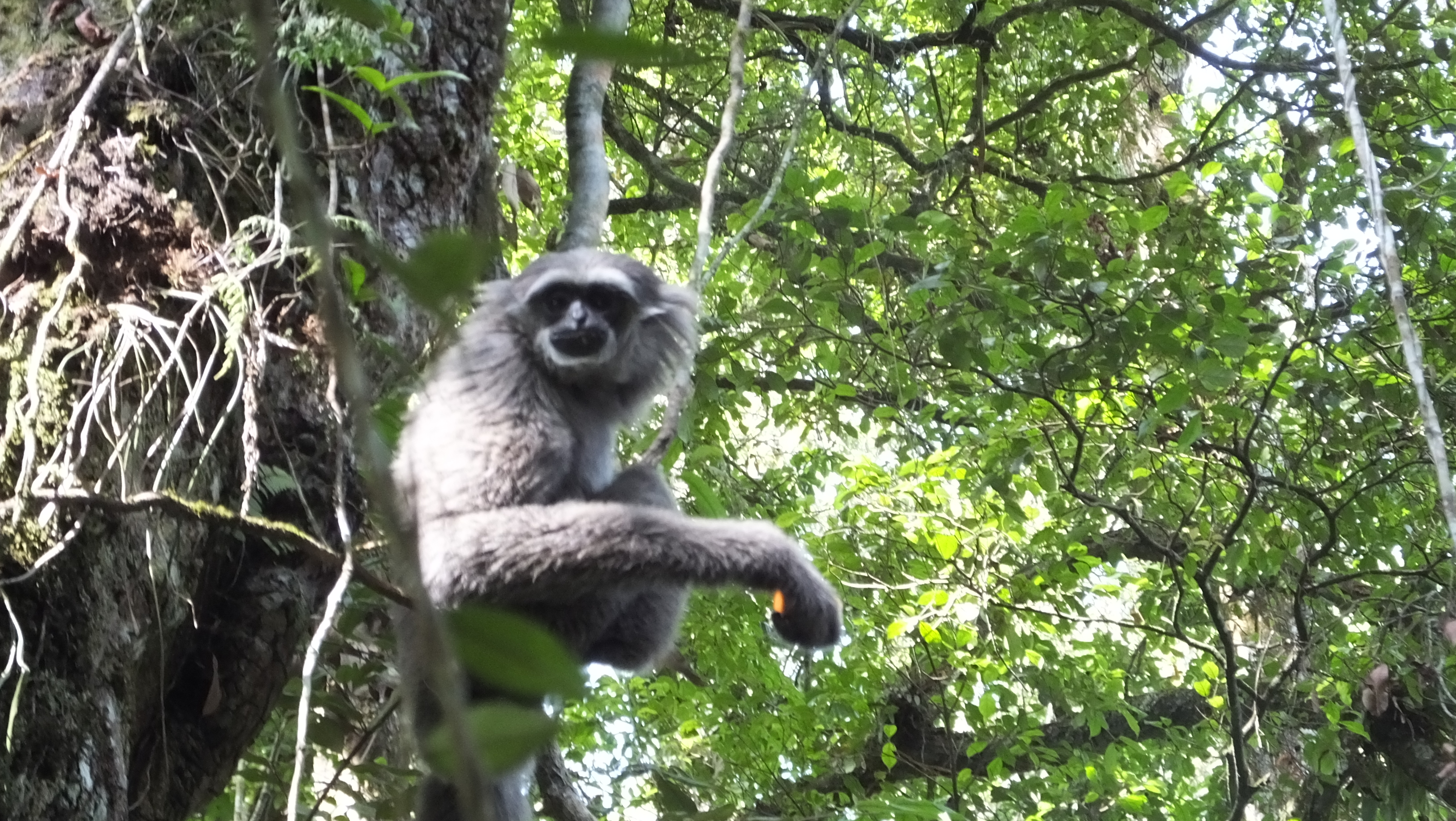 2020A-156 Java Cheri, our first released gibbon living wild The Aspinall Foundation