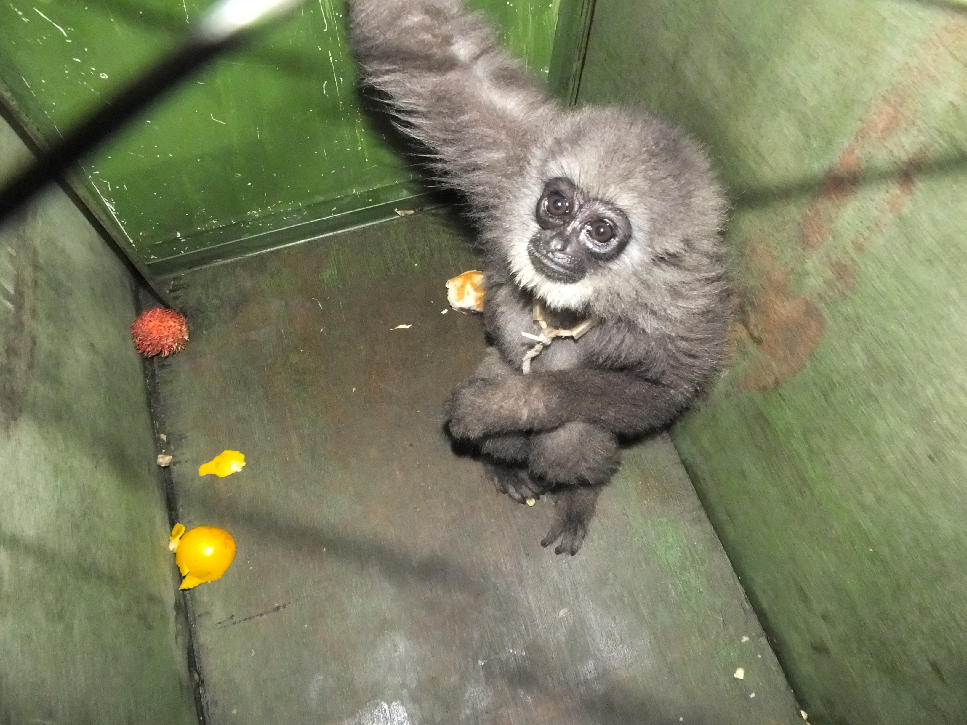2020A-156 Java Rescued baby Javan gibbon The Aspinall Foundation