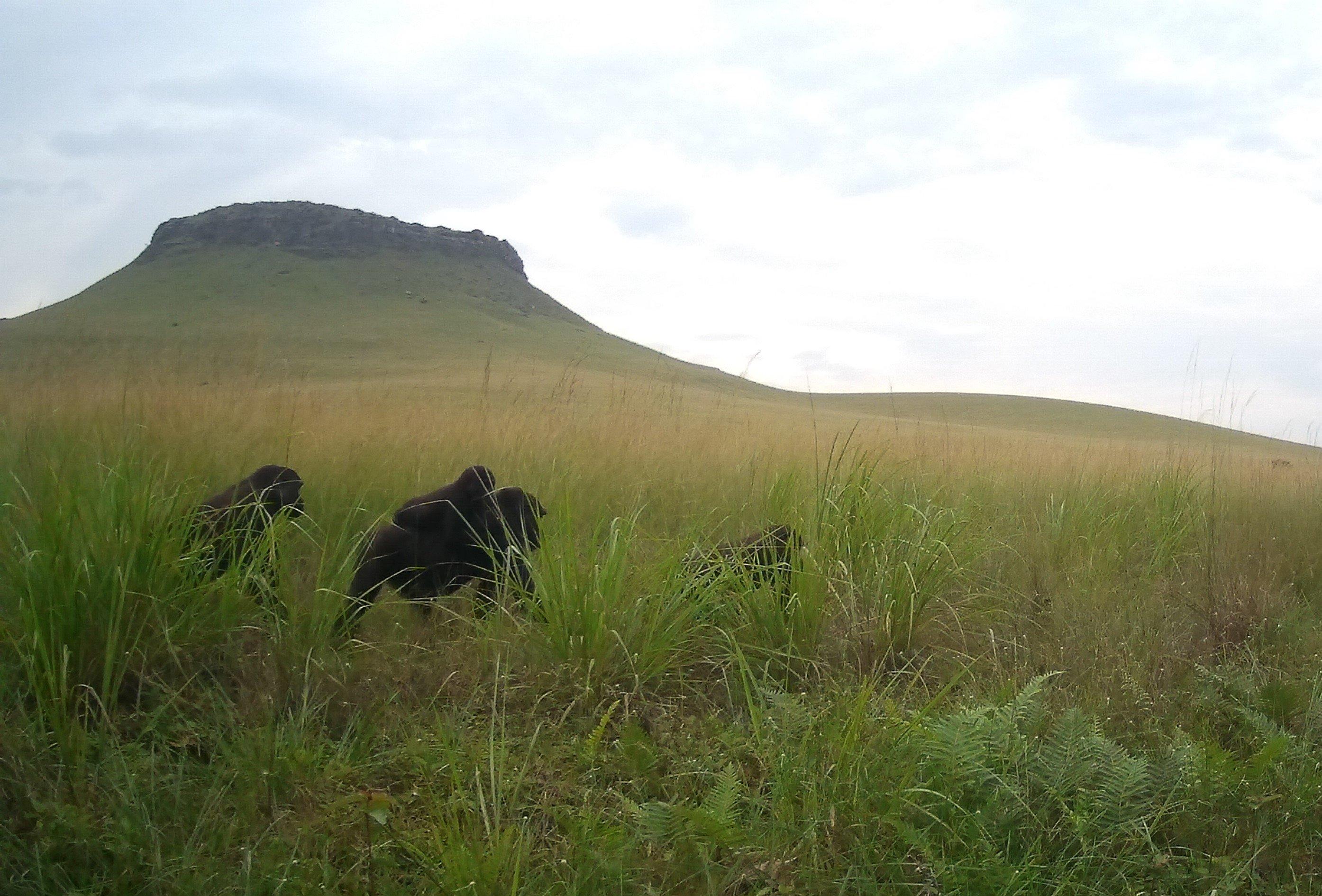 2020A-160 Congo Camera Trap Image - Makouas Group Jan 2021