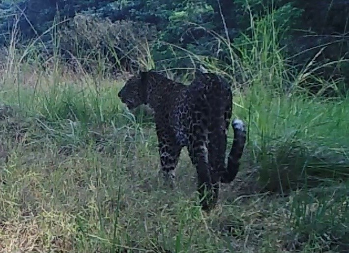 2020A-160 Congo Leopard Caught on Camera Trap 09.09.20