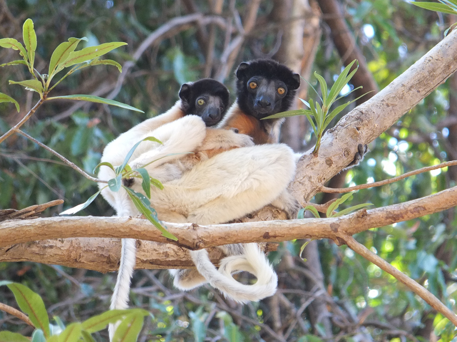2020A-141-Crowned-Sifaka-Mother-and-Baby_small