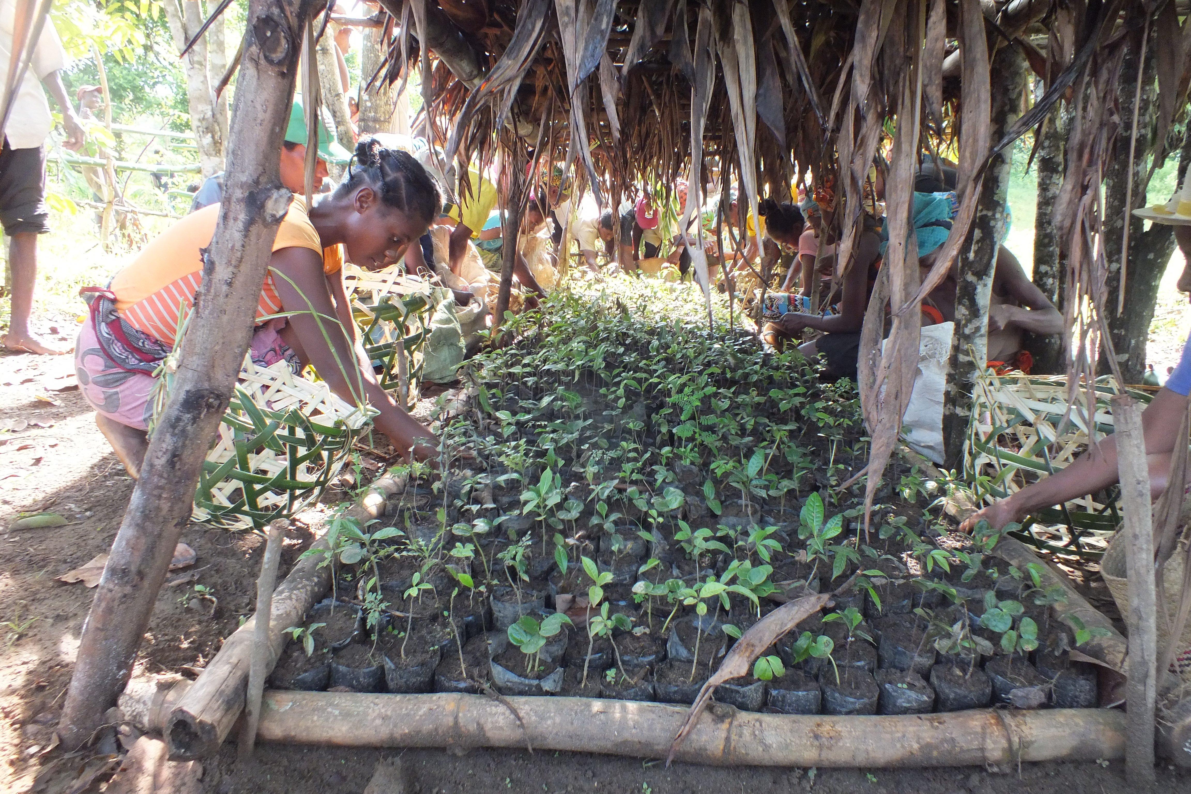SOS 2020A-135 Reforestation at Lanonana - Preparing sapling - Haingo