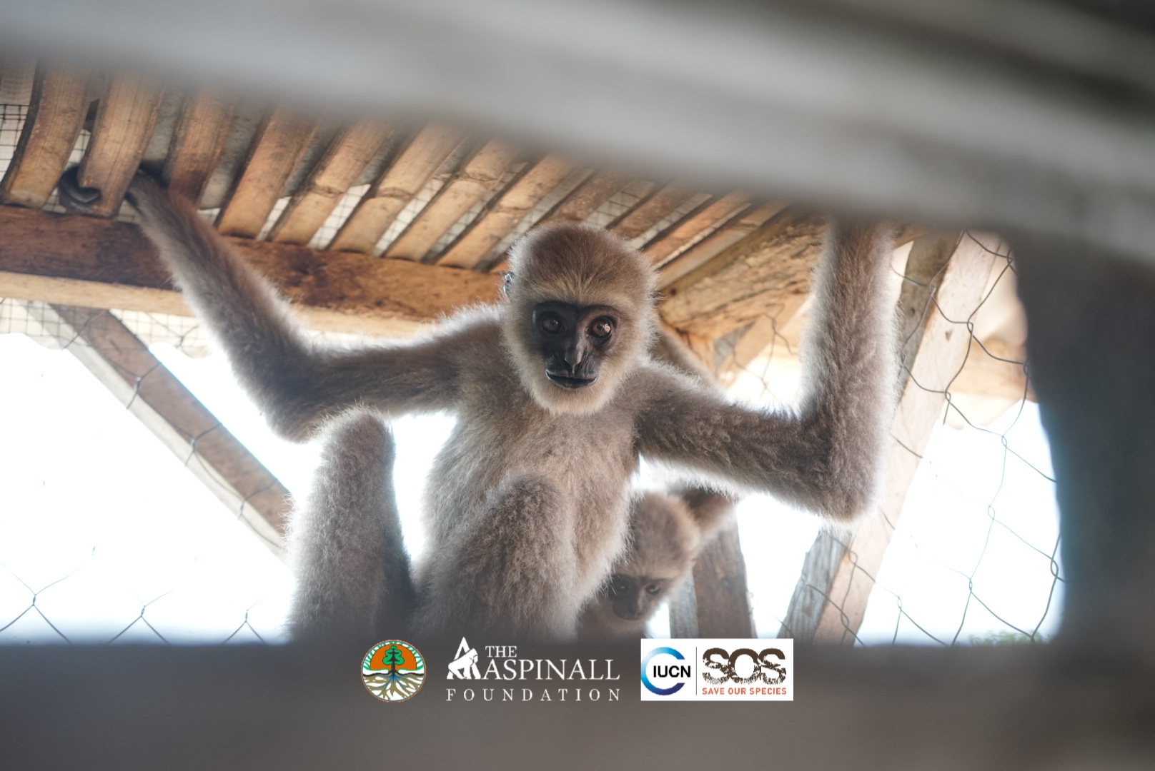 Two rescued gibbons arrive at JPRC 22nd June 2021