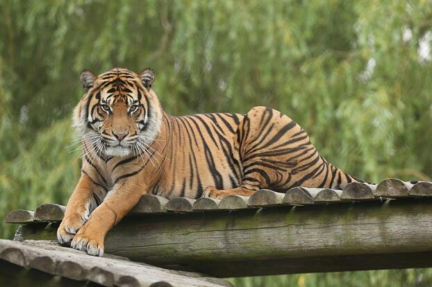 Achilles enjoys resting on his high platforms at Howletts Wild Animal Park