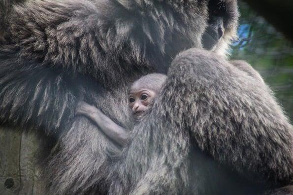 Adorable baby gibbon makes debut at Port Lympne Hotel & Reserve-1