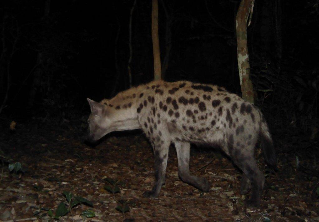 1 Spotted hyena in Bateke-Panthera_ANPN_TAF.jpg