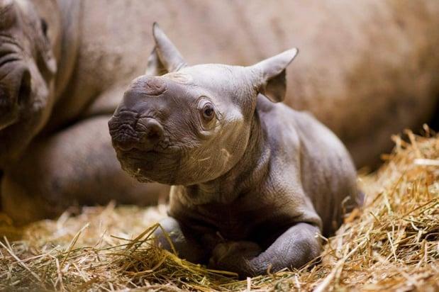 Adorable black rhino calf at Port Lympne Reserve c Shelley Kettle.jpg