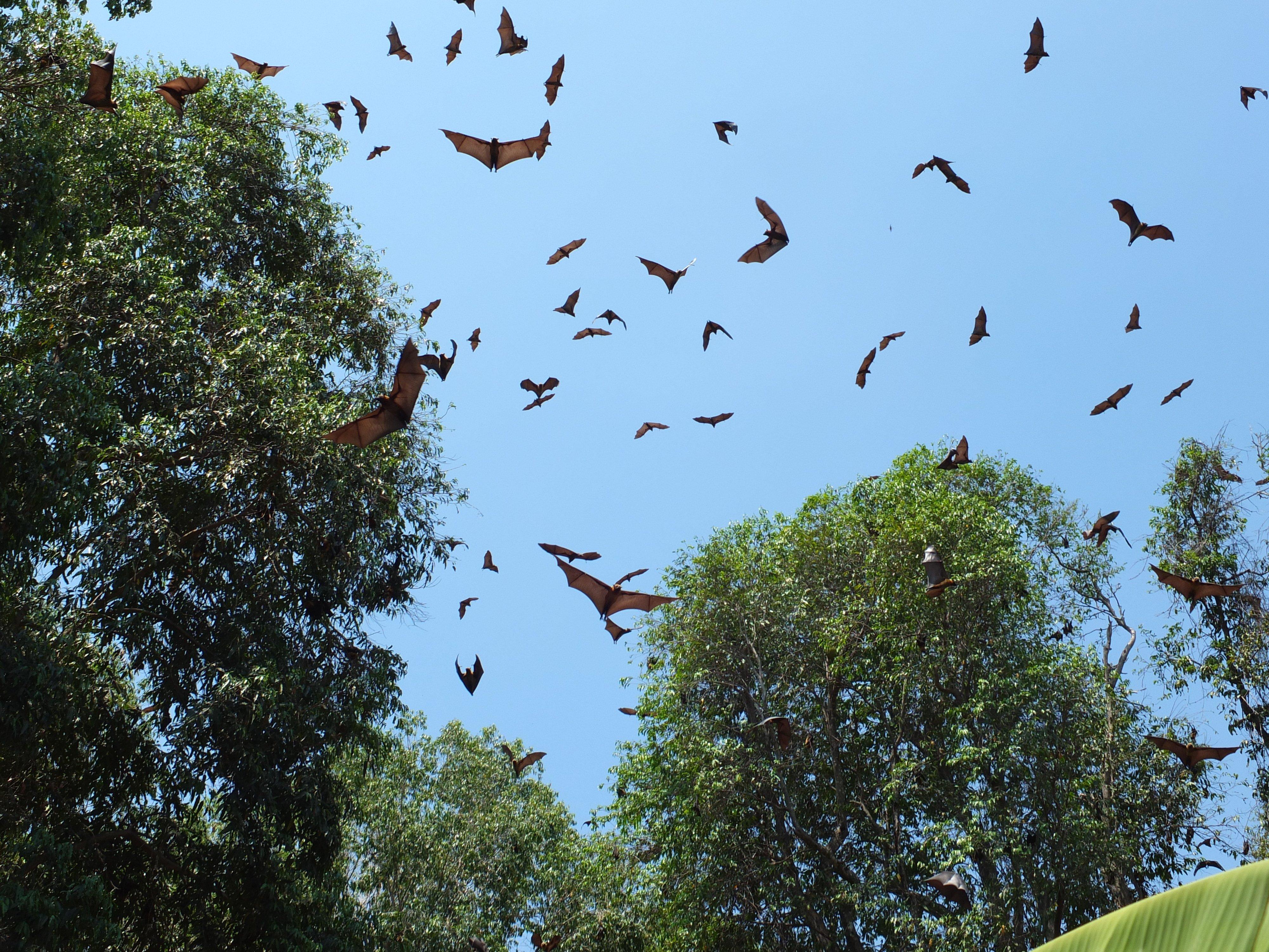 Aspinall 2020 07 Mada flying foxes by Lucien Randrianarimanana