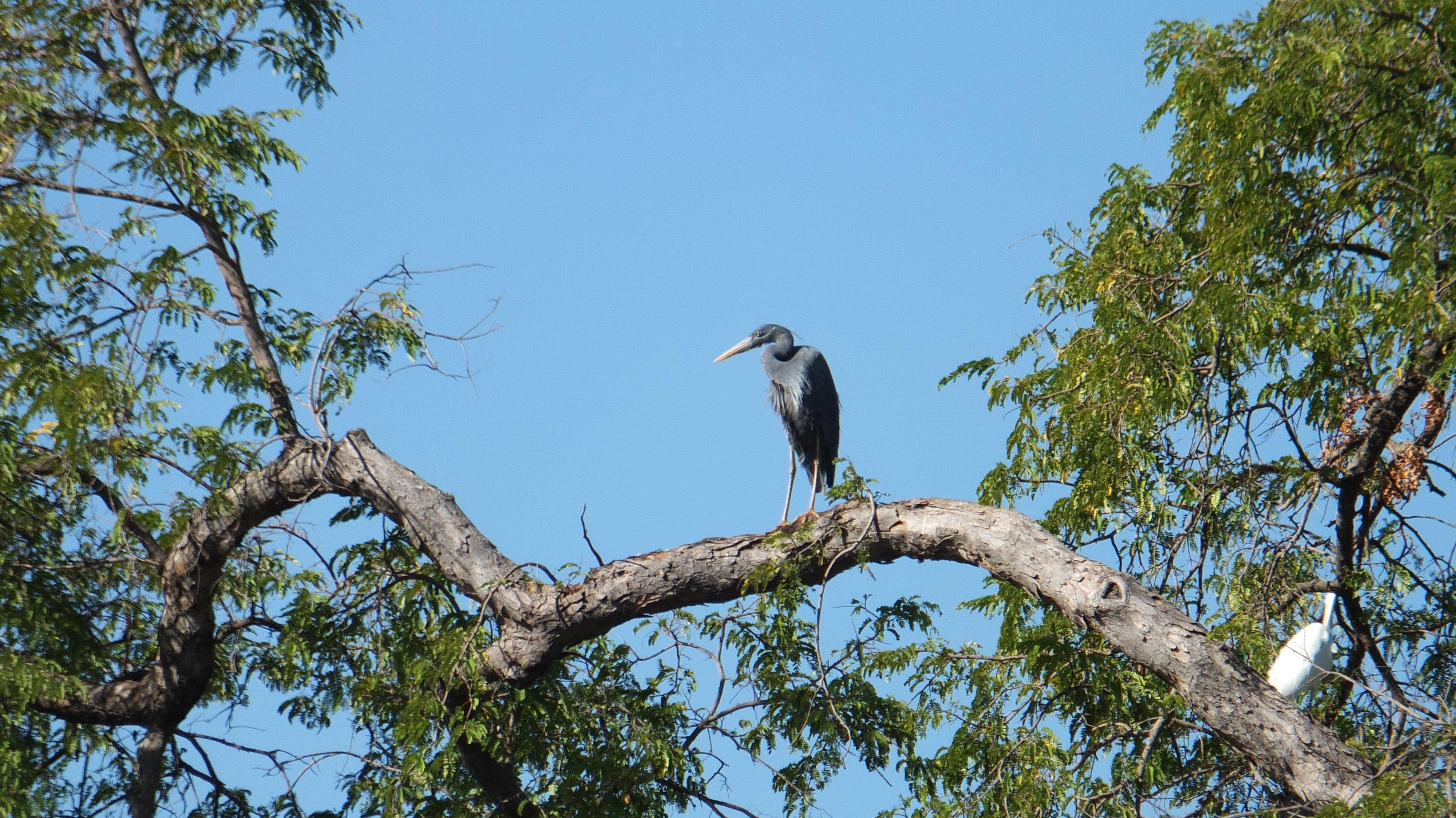 Aspinall 2020 07 Madagascar heron at Ambatomasina by Lucien Randrianarimanana 03