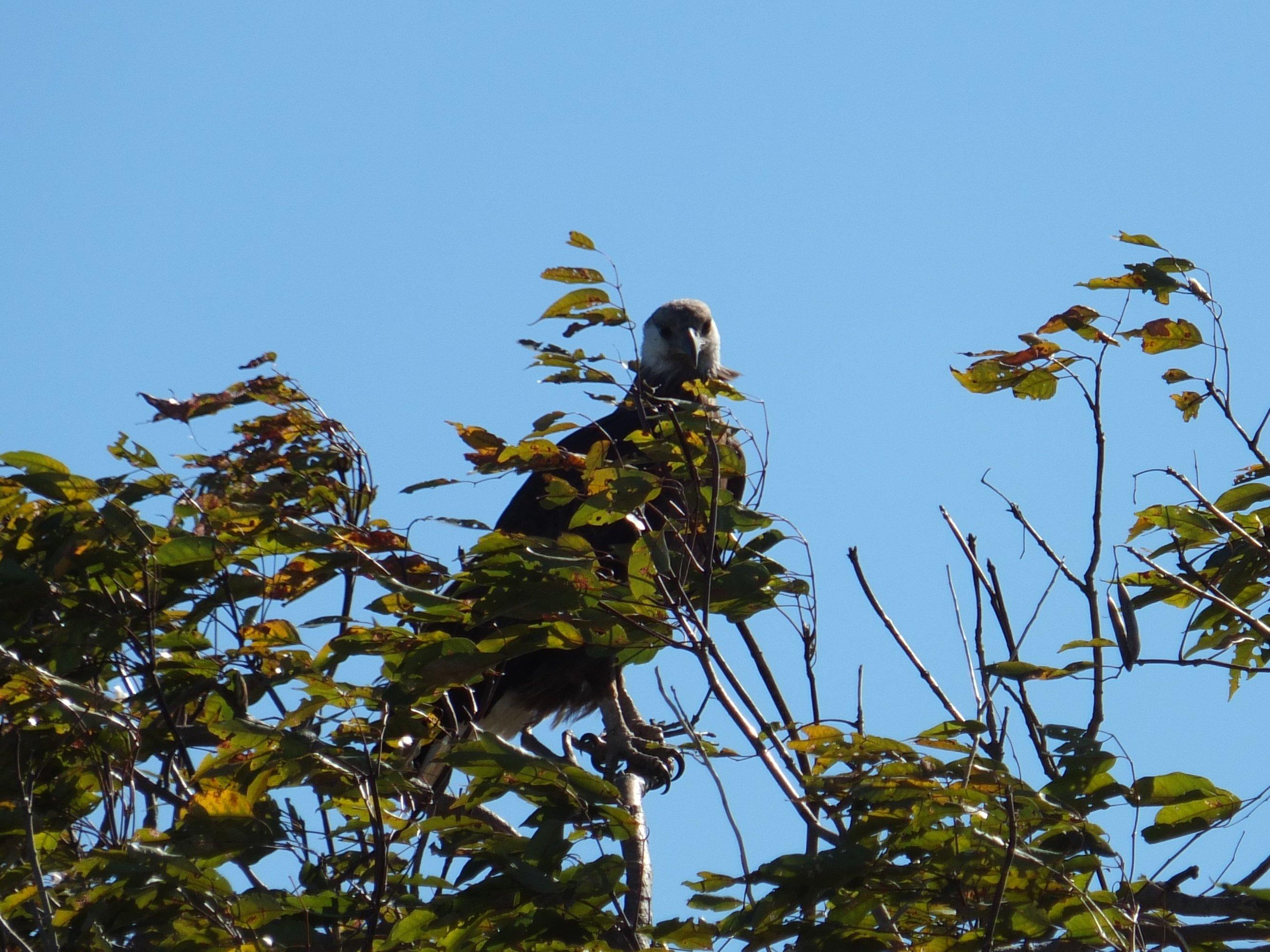 Aspinall 2020 07 fish eagle at Marofototra by Lucien Randrianarimanana 01