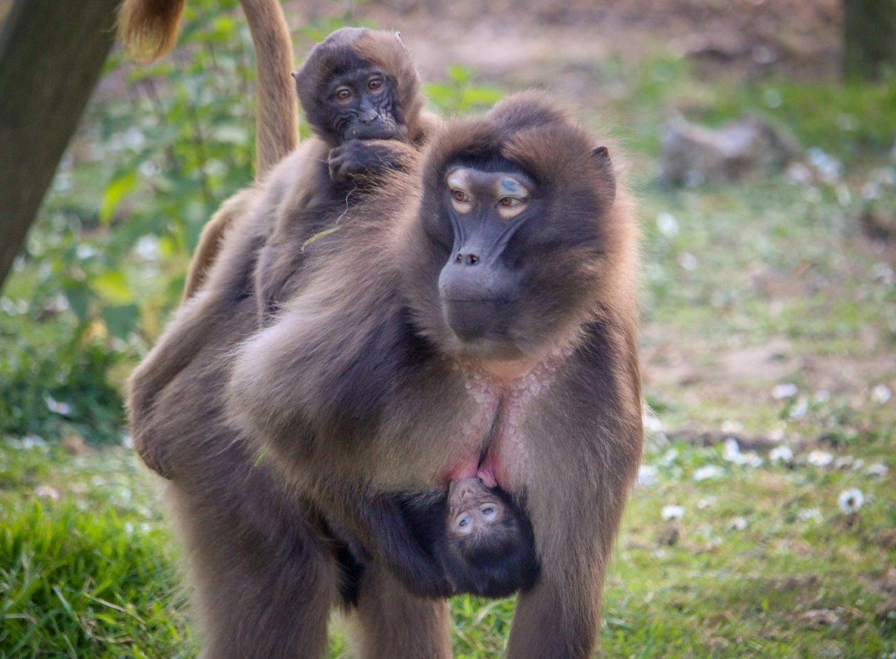 Baby Gelada Baboons are carried by thier mothers at Howletts Wild Animal Park