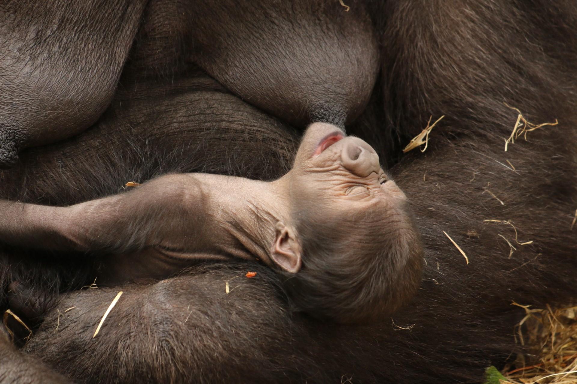 Beautiful baby gorilla at Howletts Wild Animal Park c Howletts Wild Animal Park