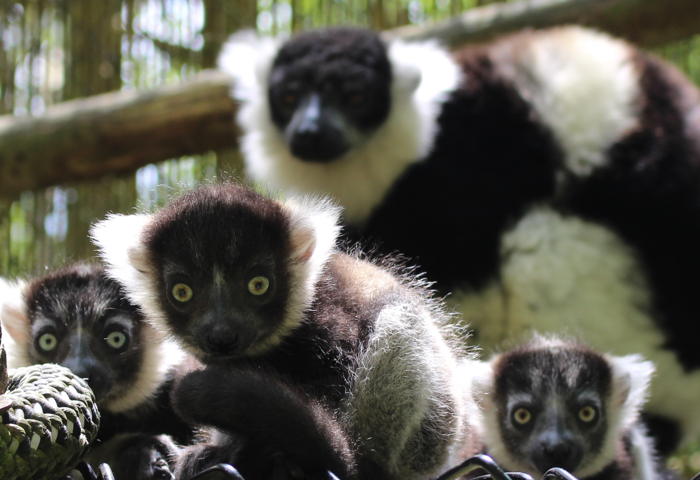 Black and White Ruffed Lemur Infants at Port Lympne Hotel & Reserve c Port Lympne Hotel & Reserve