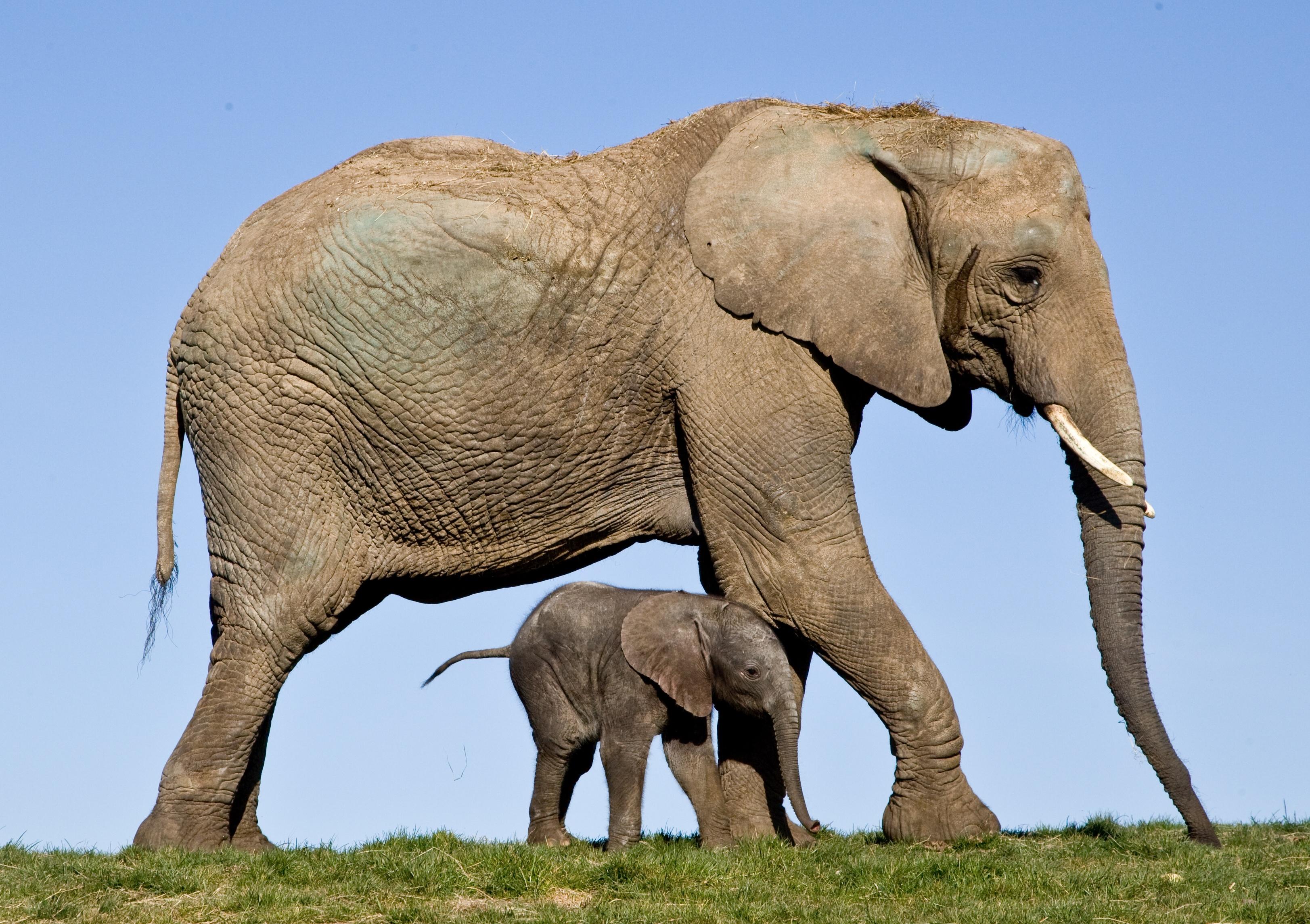 Howletts elephants.jpg