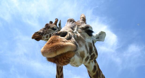 giraffe close up.jpg