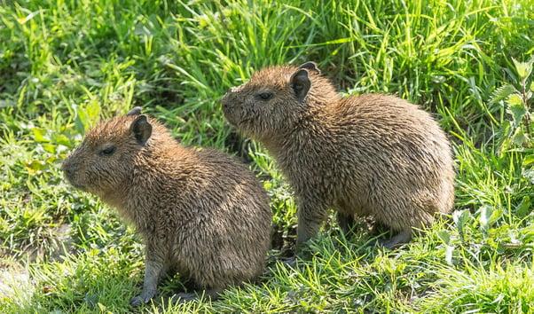 Capybara Pups at Port Lympne Hotel & Reserve 1