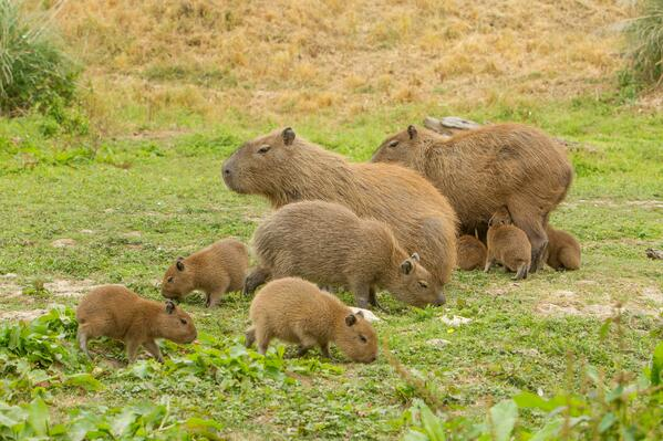 Cute capybara kits  at Port Lympne Hotel& Reserve c Port Lympne Hotel & Reserve