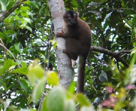 Eulemur - Brown Lemur