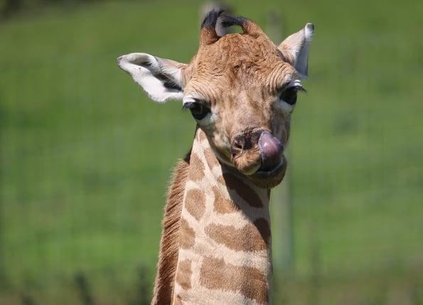 Giraffe Calf at Port Lympne Hotel & Reserve edit