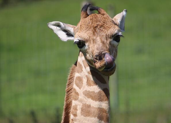 Giraffe Calf at Port Lympne Hotel & Reserve edit