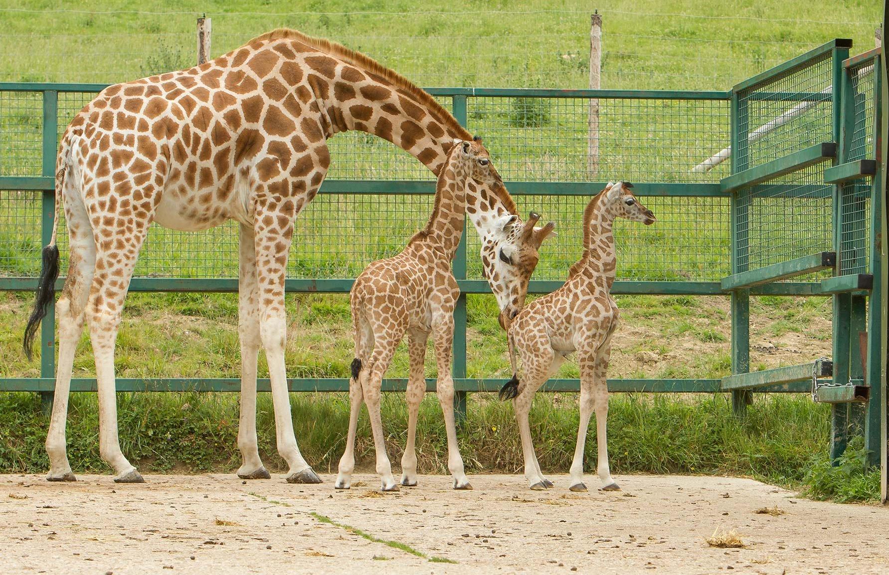 Giraffe calves at Port Lympne Hotel & Reserve Kent
