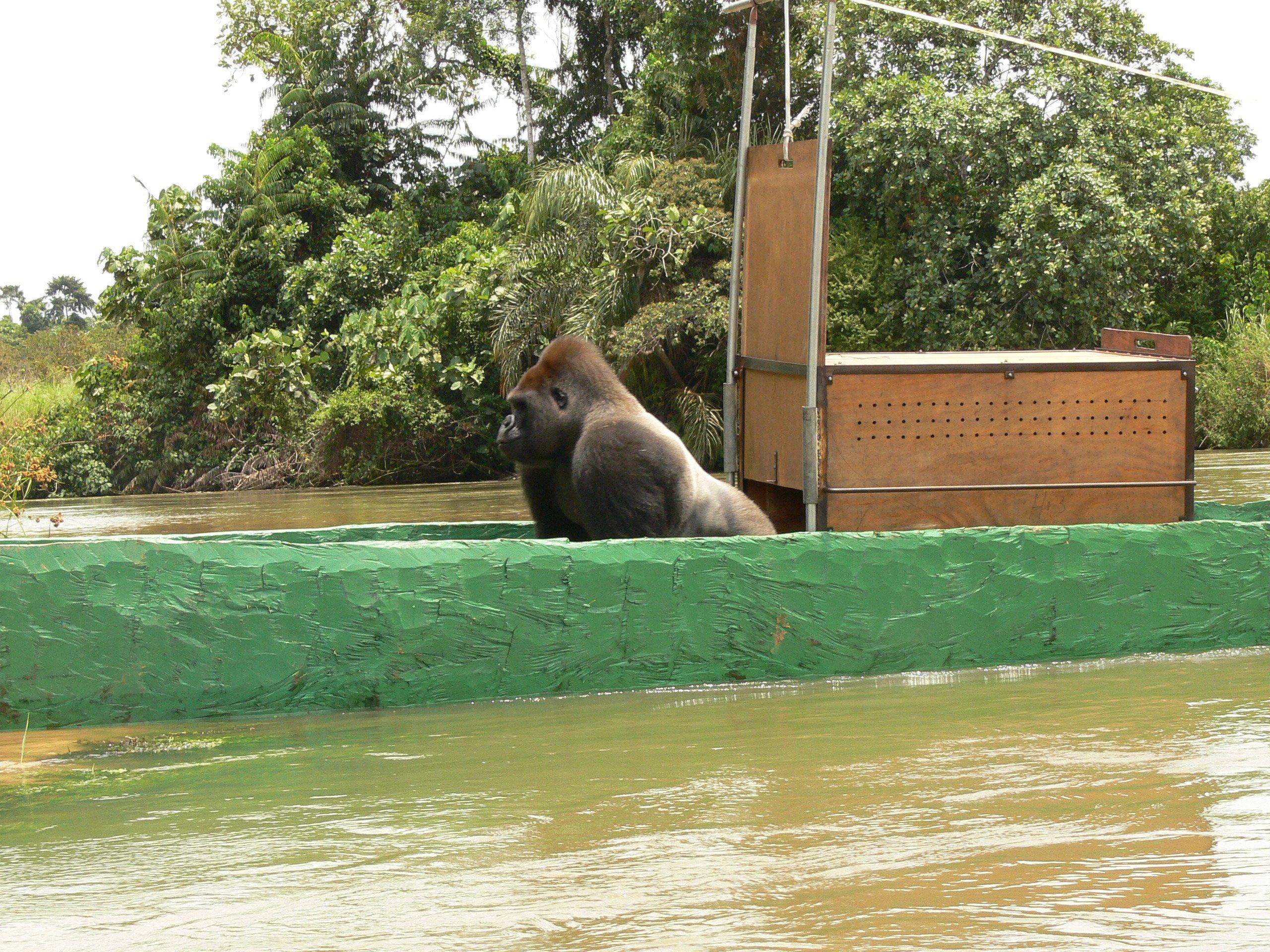 Gorilla release in Congo 1 (c) Tony King _ Aspinall Foundation