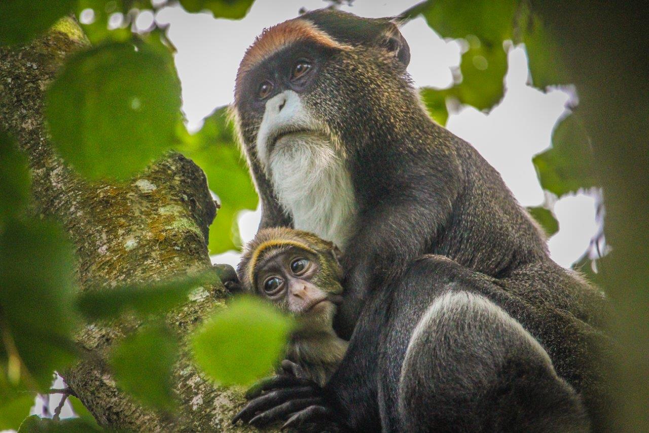 Infant De Brazza's monkey makes debut at Port Lympne Hotel & Reserve