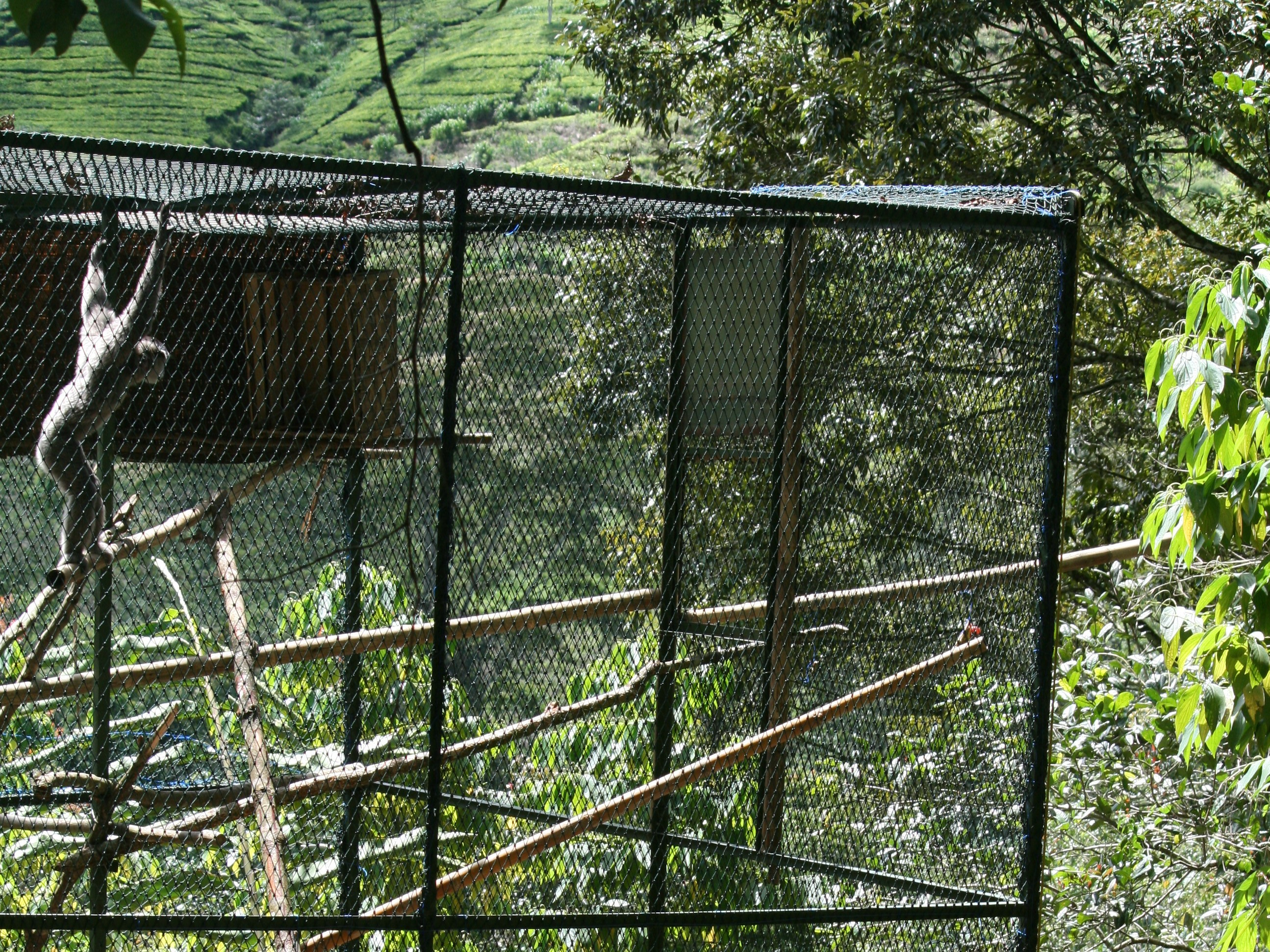 Javan gibbon soft release (c) Tony King _ KLHK _ Aspinall Foundation
