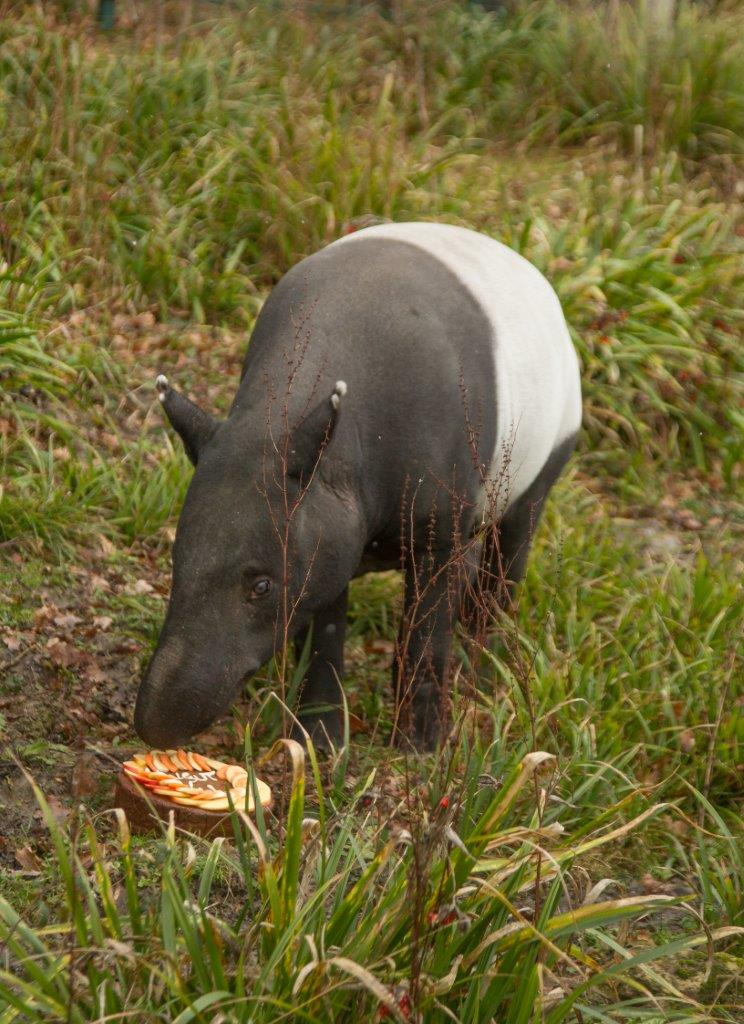 Kingut enjoys his birthday cake at Port Lympne Hotel & Reserve c Port Lympne Hotel & Reserve