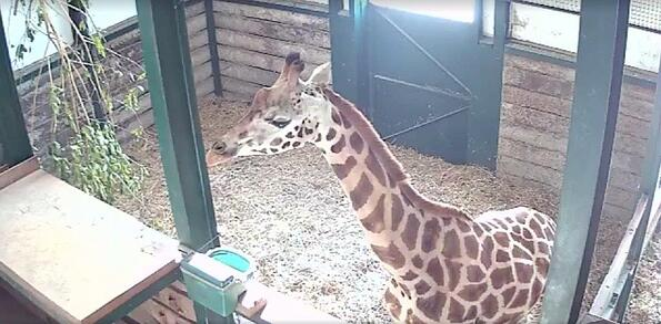 Lunar a female rothschild giraffe at Port Lympne Hotel & Reserve