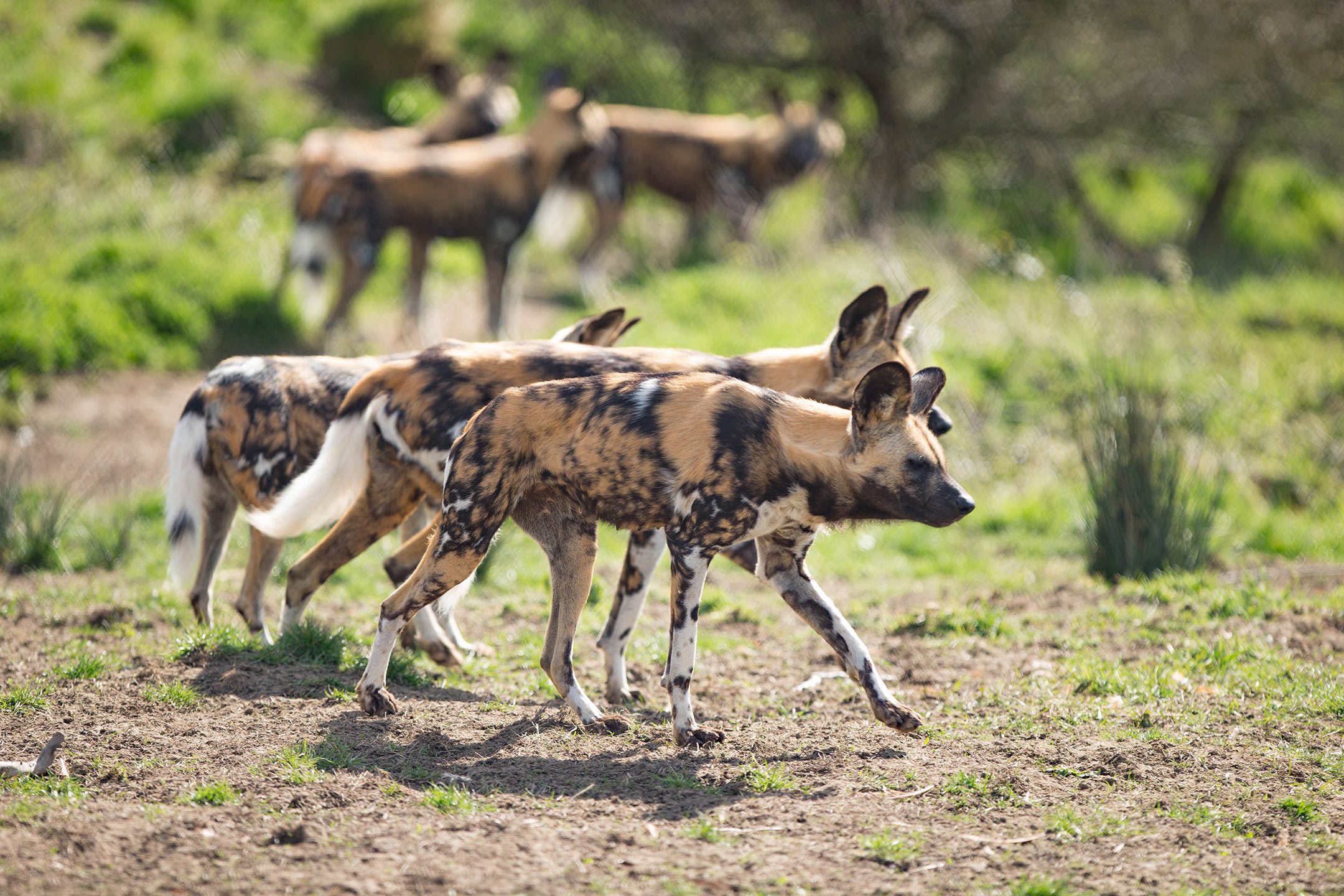 Madi-Front_African-Painted-Dogs_Dave-Rolfe_AD7T1854_SMALL