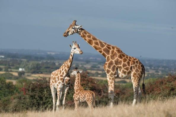 PL Giraffe