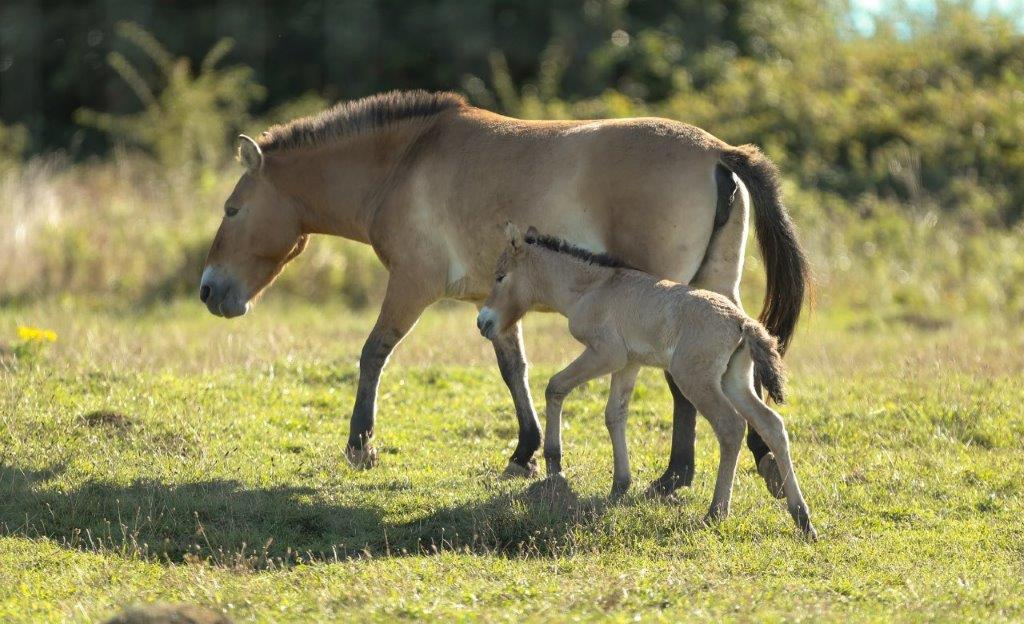 Rare Foal Finds Her Feet At Port Lympne Hotel & Reserve c Dave Rolfe