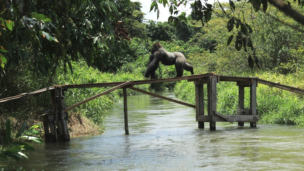 Silverback Rapha crosses the bridge to the wild c The Aspinall Foundation