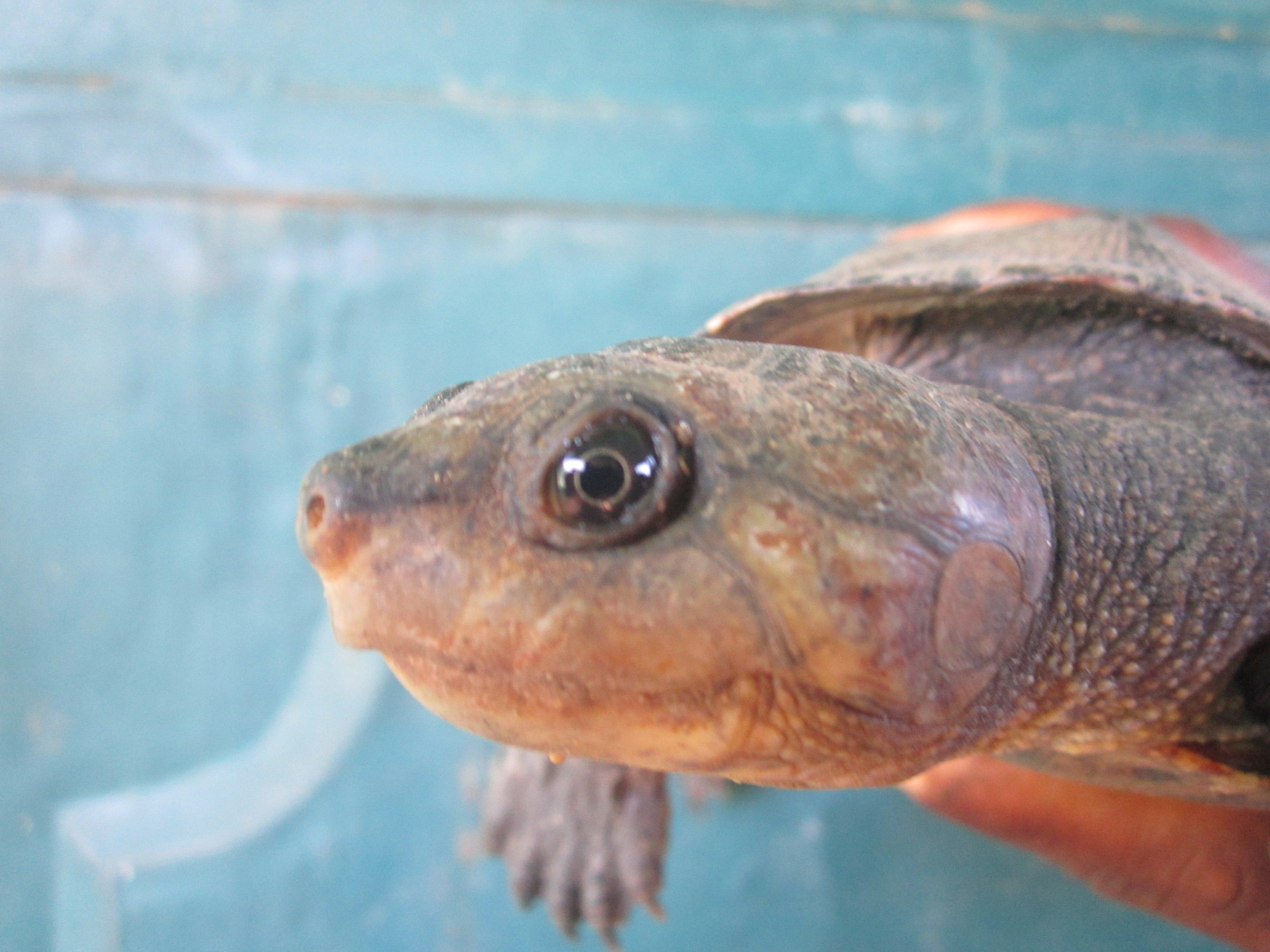 Aspinall 1812 Madagascar big headed turtle at Ambatomasina by Lucien Randrianarimanana (1)