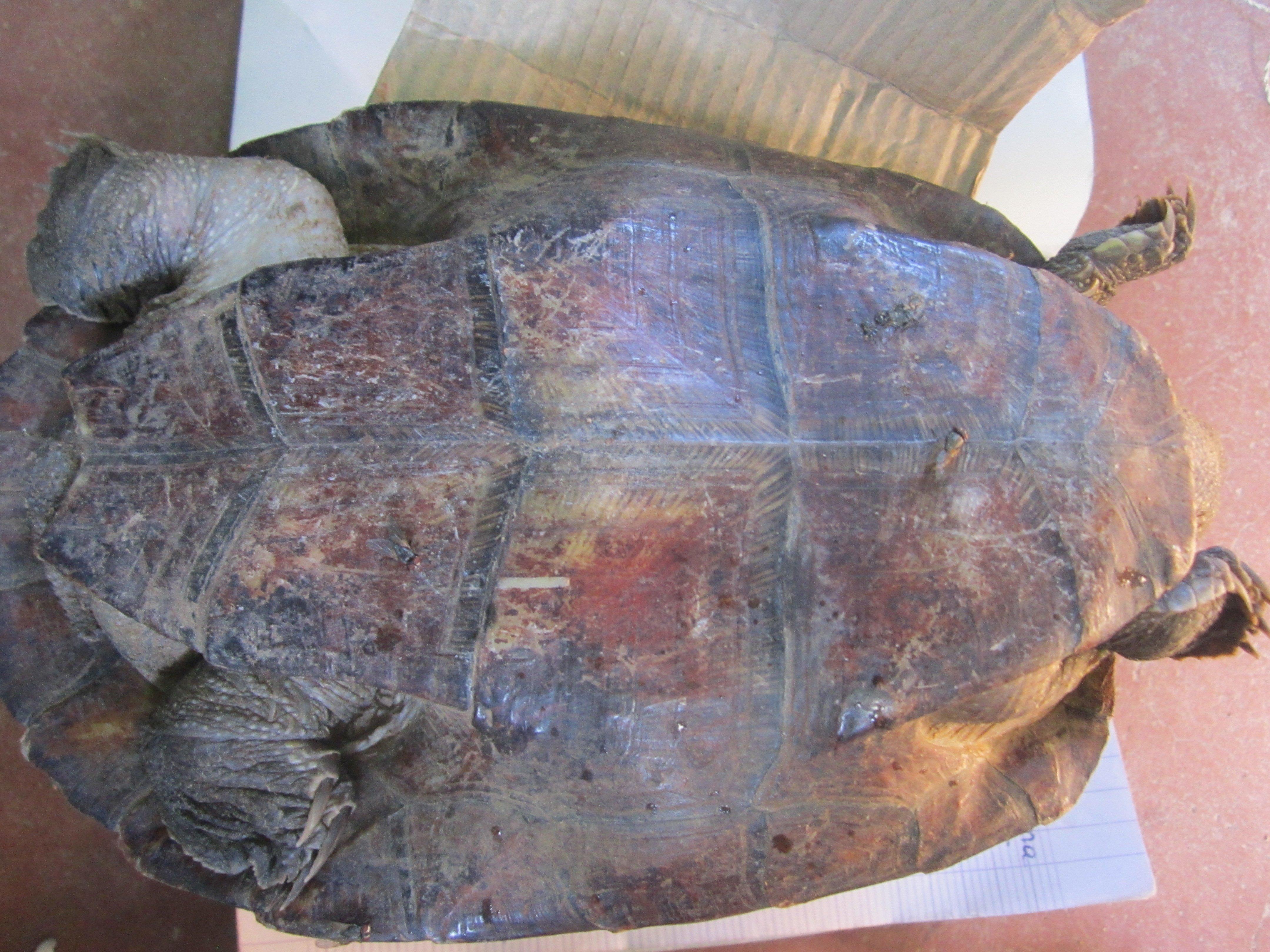 Aspinall 1812 Madagascar big headed turtle at Ambatomasina by Lucien Randrianarimanana (2)