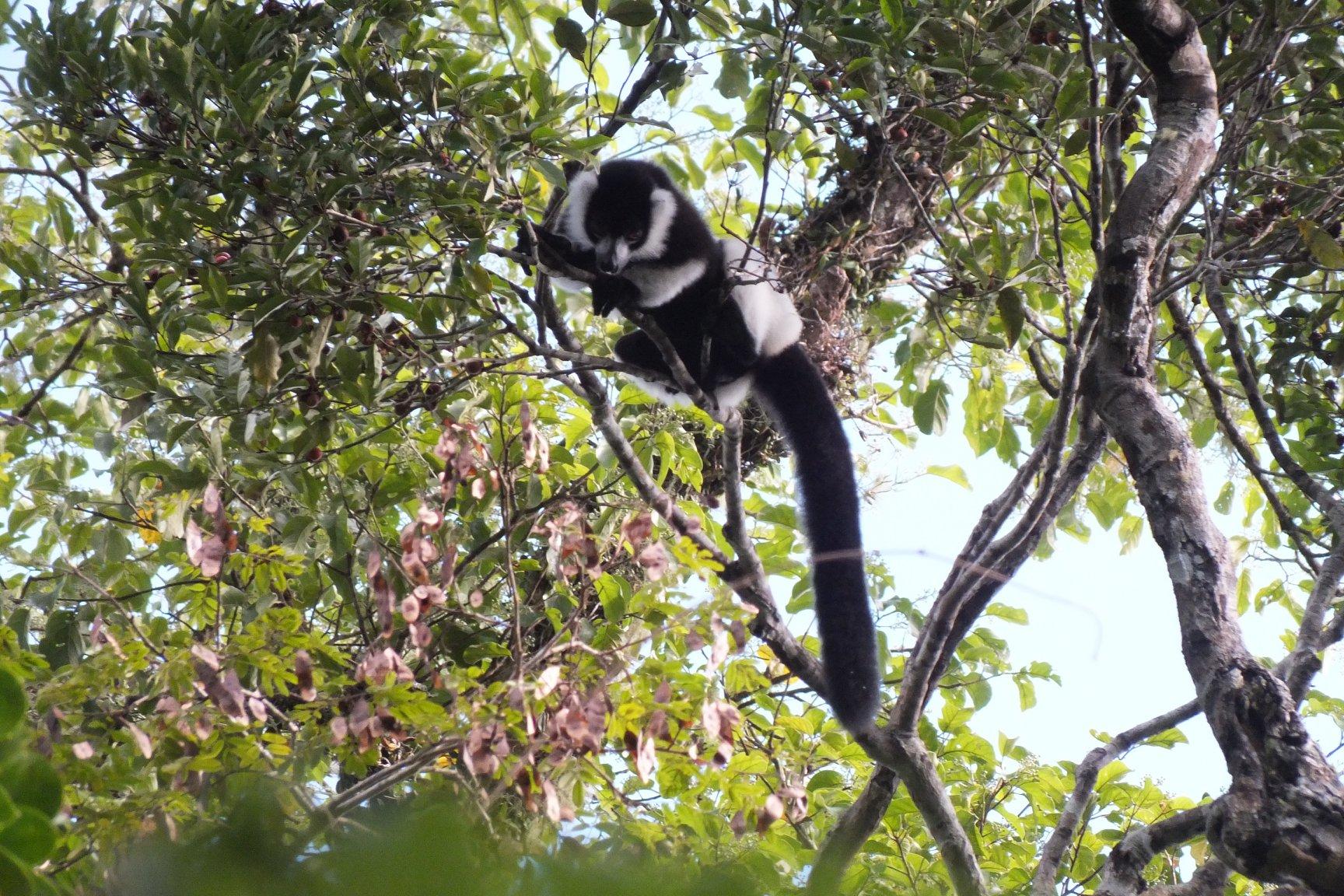B&W ruffed Lemur 1