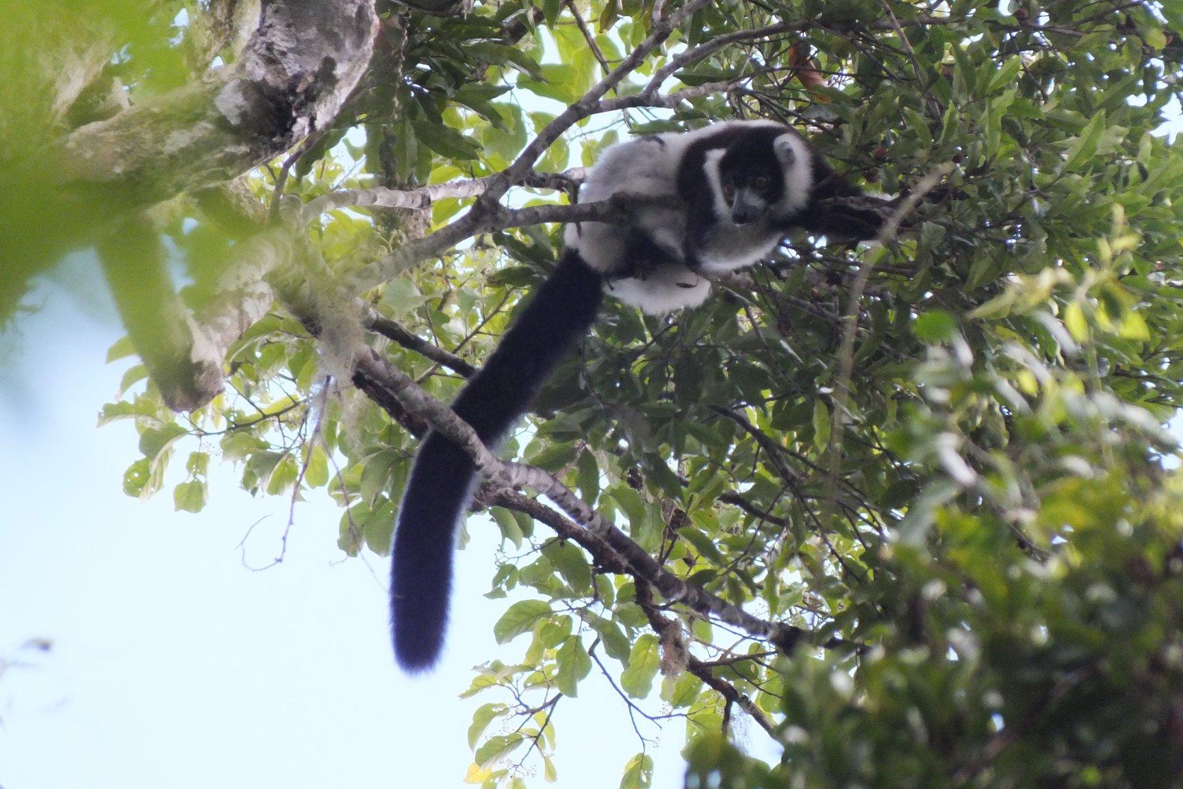 B&W ruffed Lemur