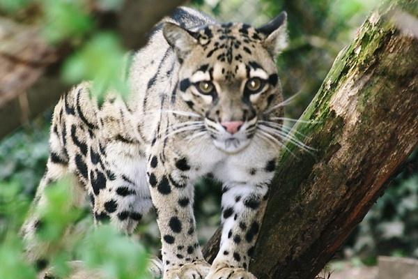 Clouded Leopard 07.04.06 (12)