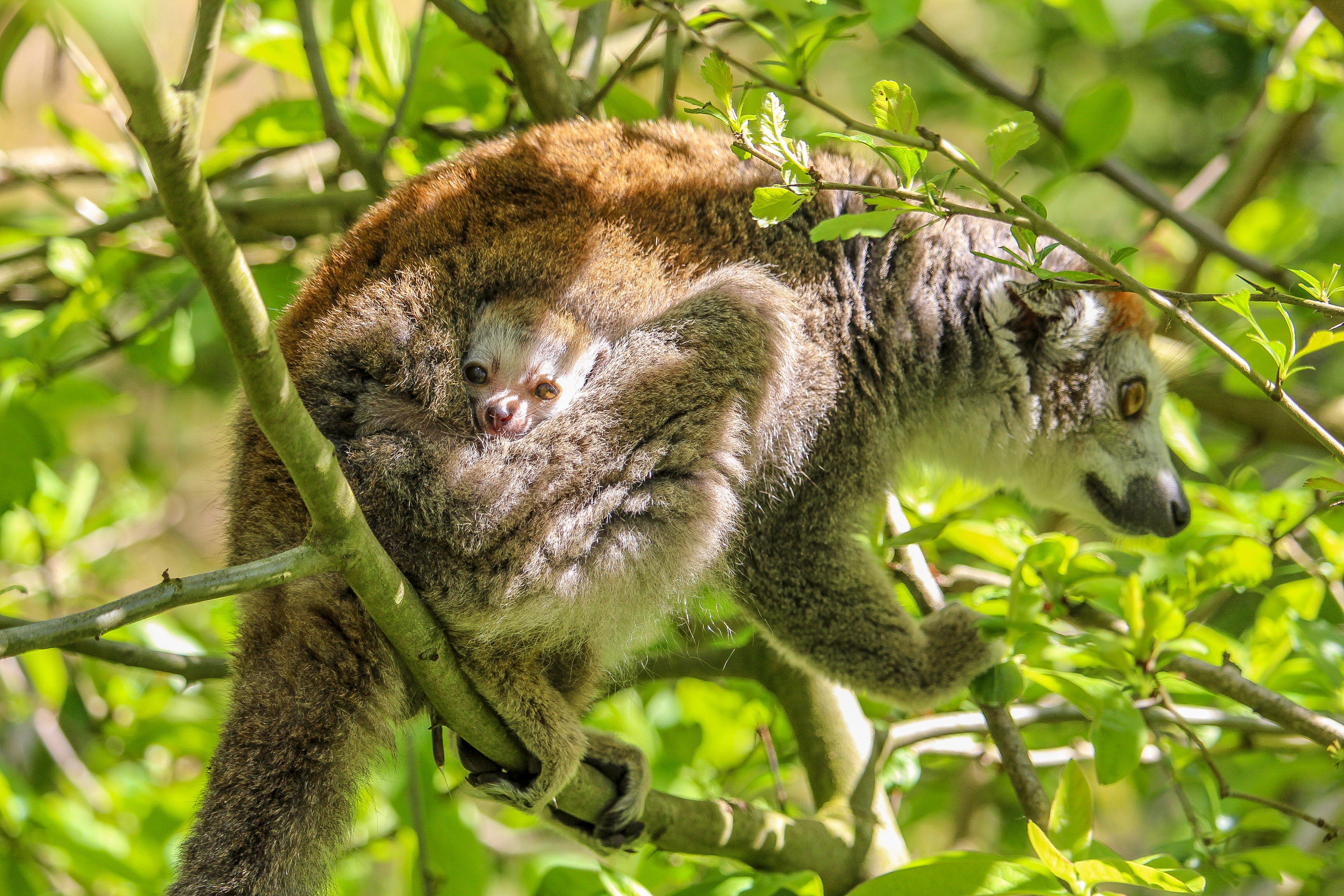 Crowned lemur & Baby