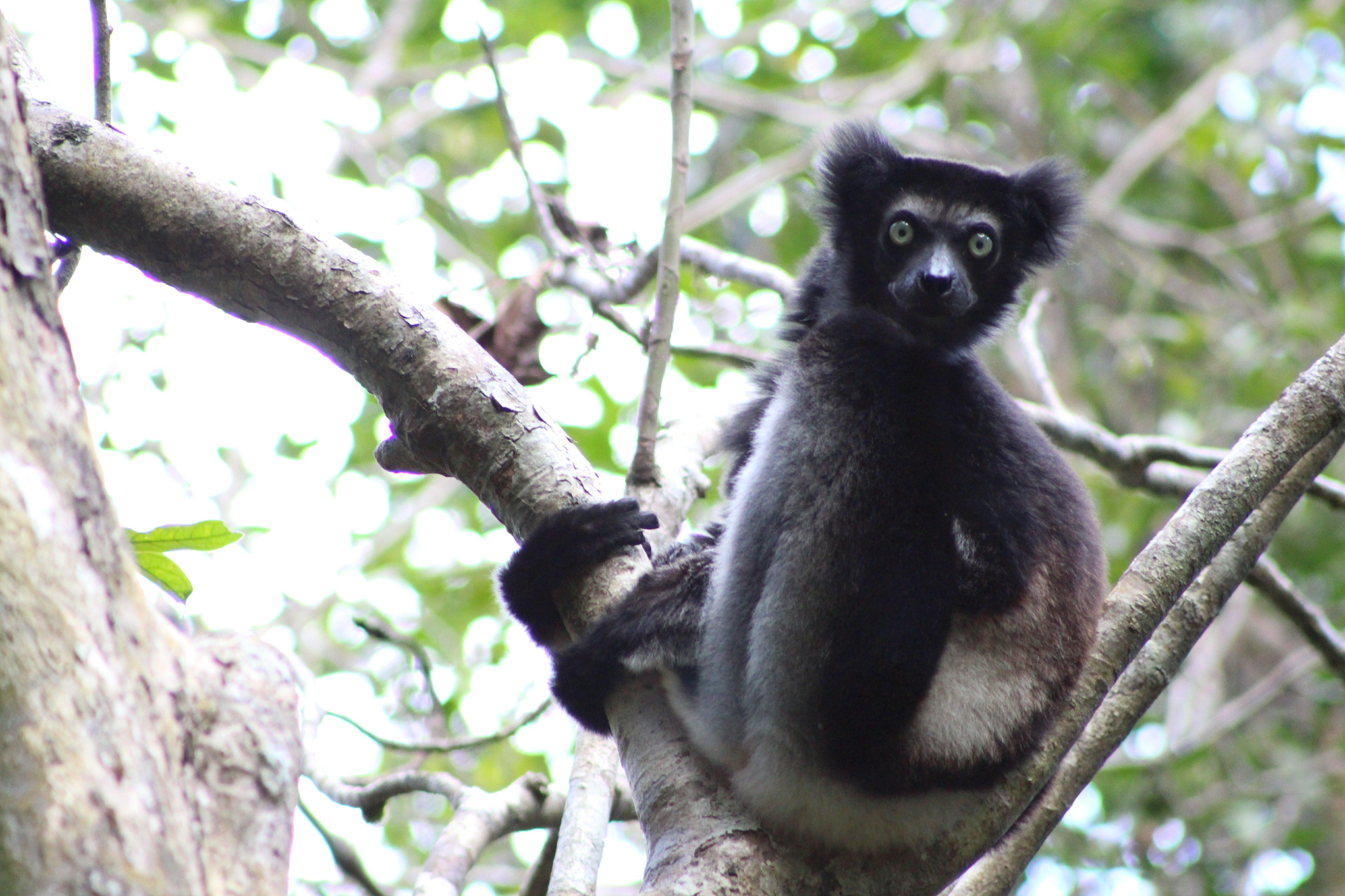Indri - Matt Ford
