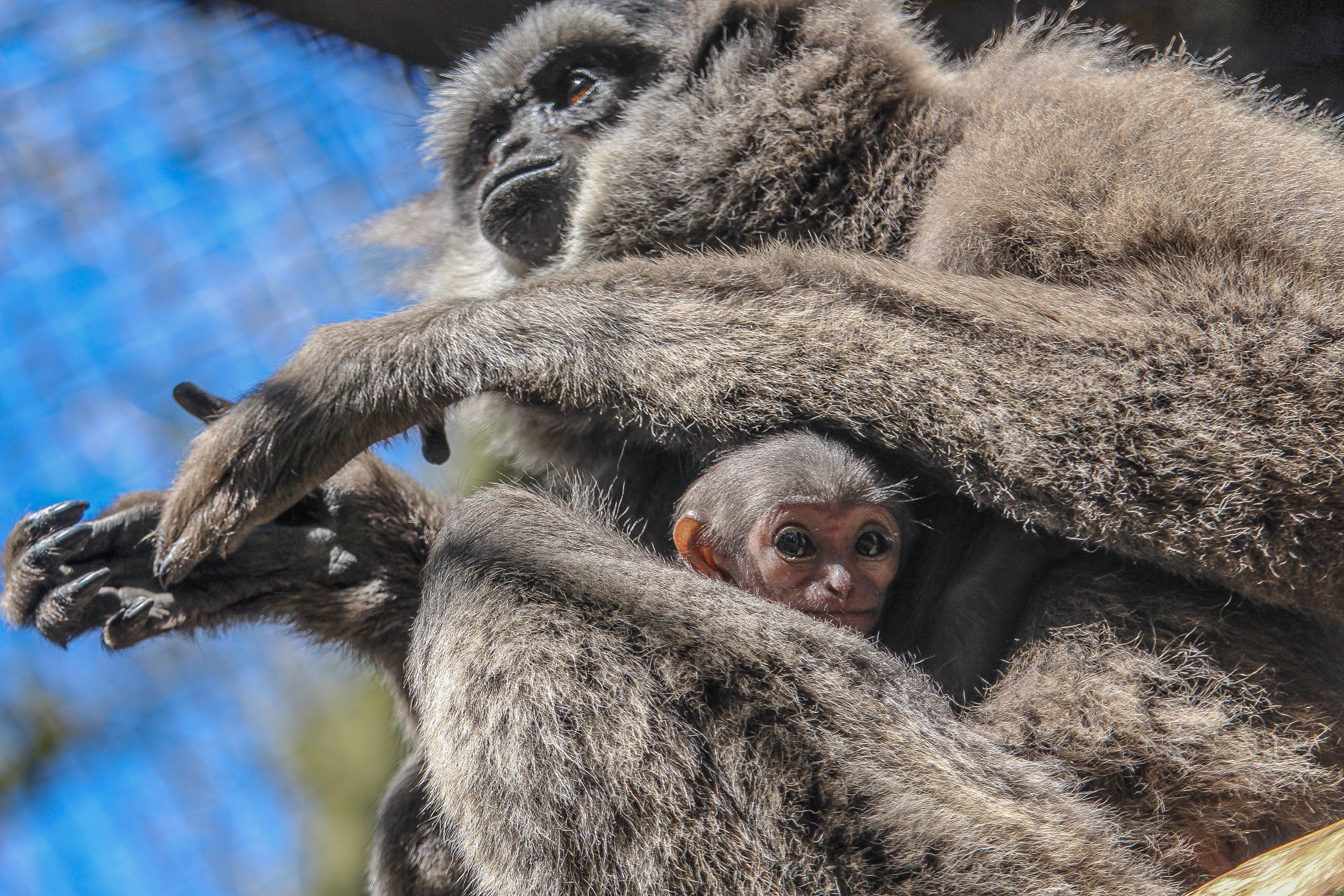 Javan gibbon & baby