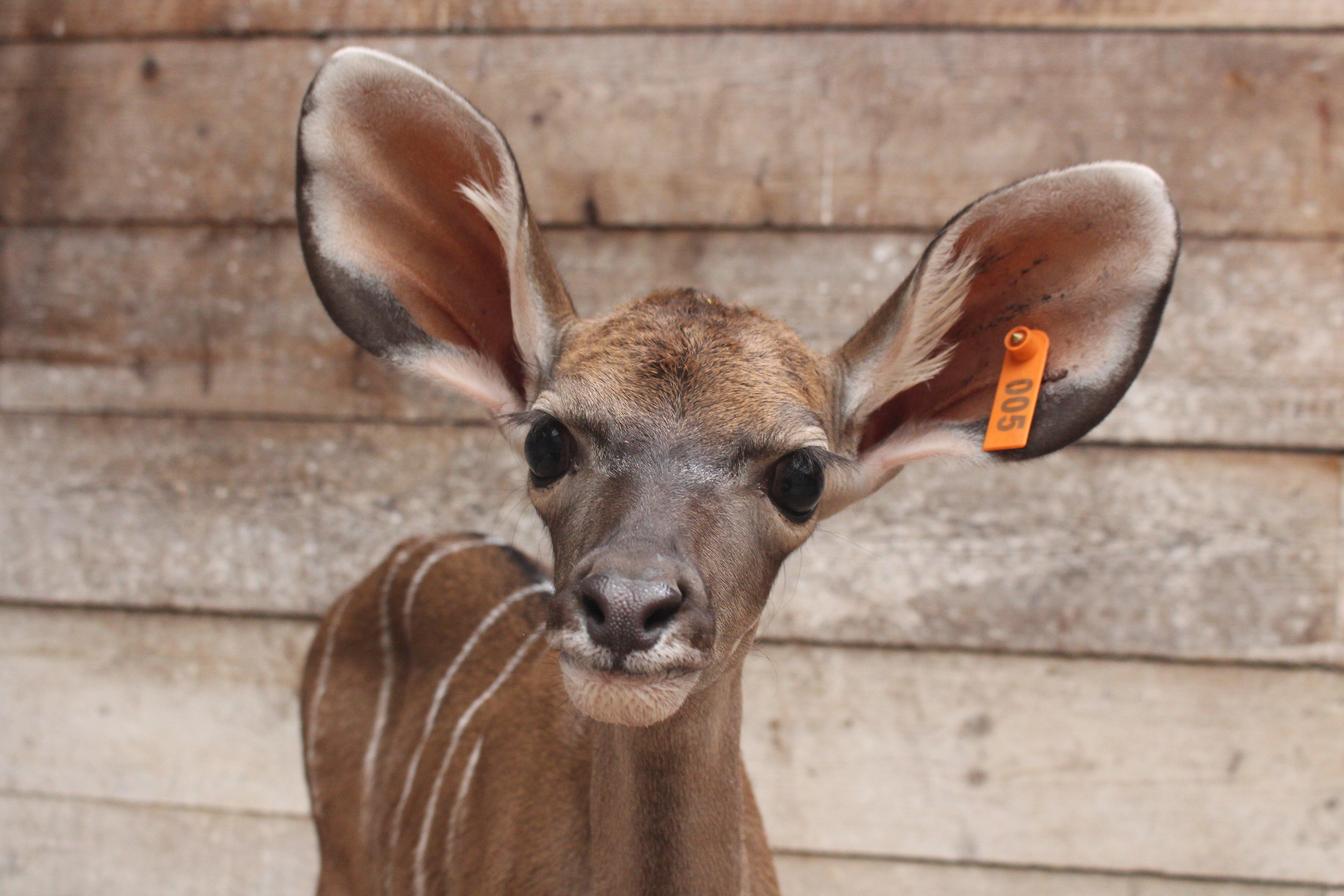 Kudu calf at Howletts