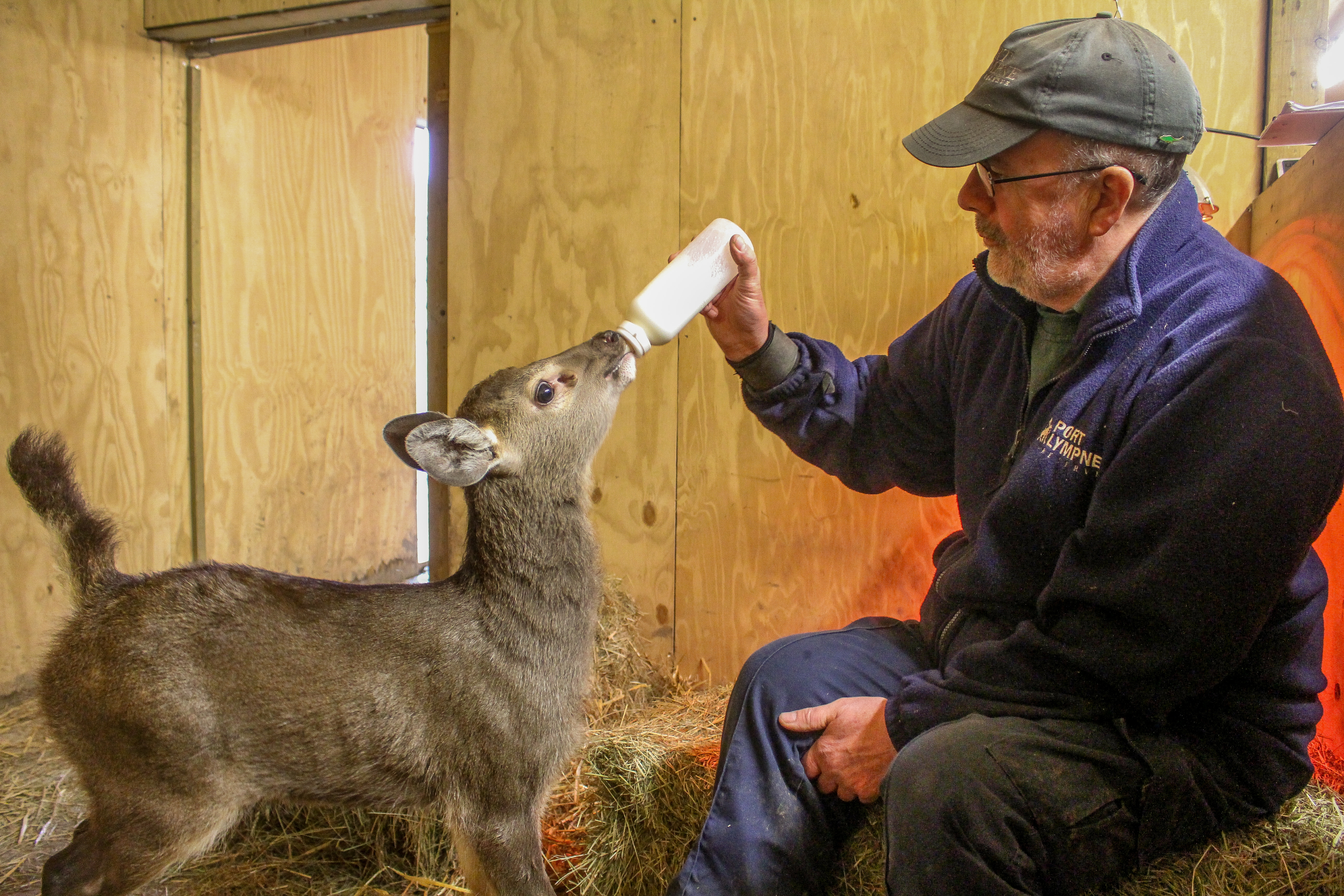 Sambar fawn bottle fed at Port Lympne Hotel  Reserve