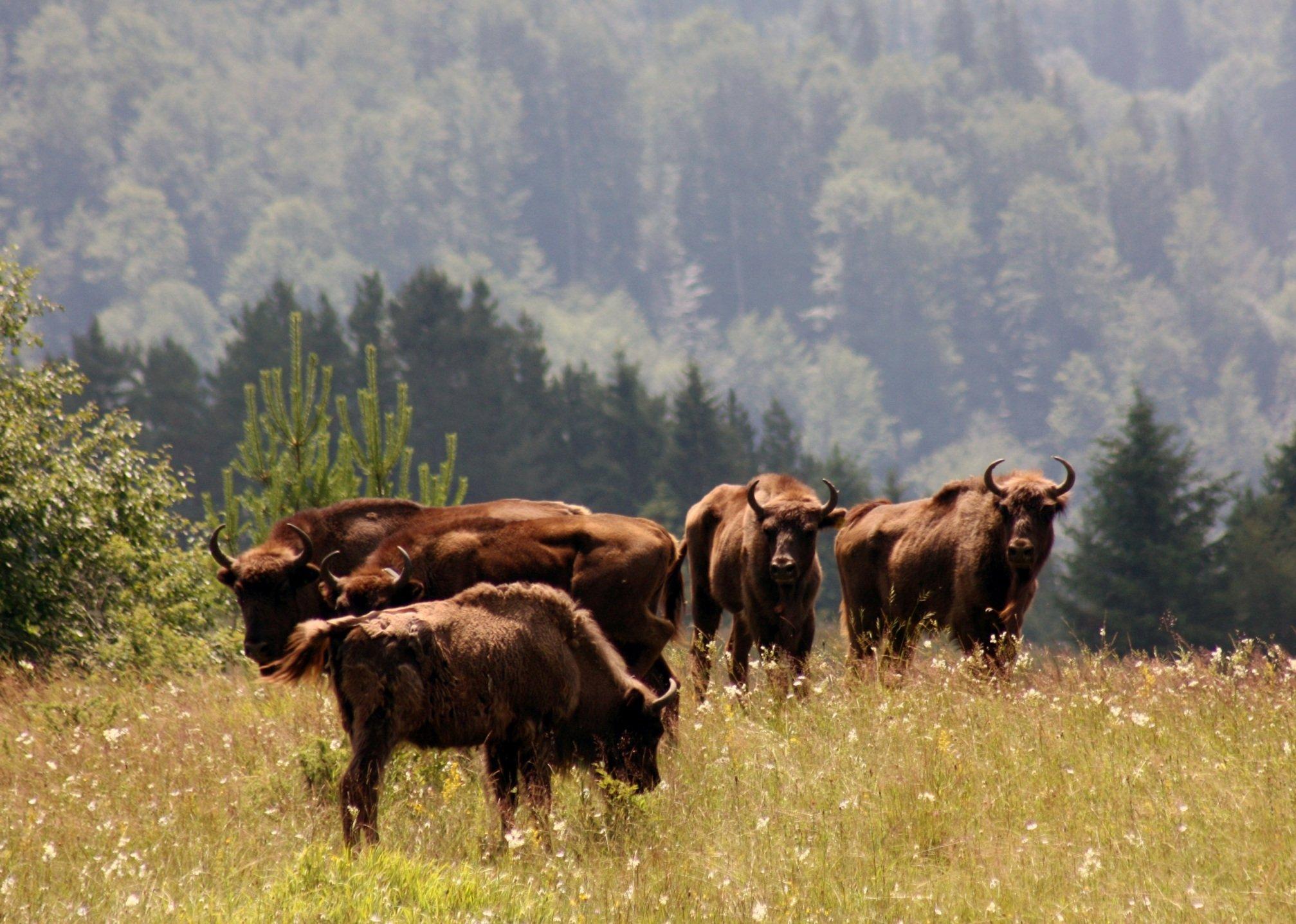 TAF 1407 bison in Romania (c) Vanatori Neamt Nature Park