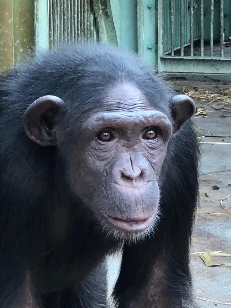 chimp 8
